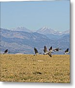 Flying Canadian Geese Colorado Rocky Mountains 1 Metal Print