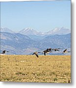 Flying Canadian Geese Rocky Mountains 2 Metal Print