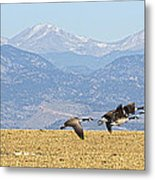 Flying Canadian Geese Rocky Mountains Panorama 2 Metal Print