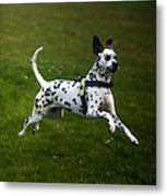 Flying Crazy Dog. Kokkie. Dalmation Dog Metal Print