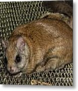 Flying Squirrel On The Feeder Metal Print
