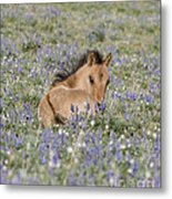 Foal In The Lupine Metal Print by Carol Walker