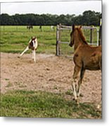 Foals At Play Metal Print by Dana Moyer
