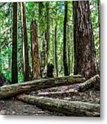 Forest Of Cathedral Grove Collection 2 Metal Print