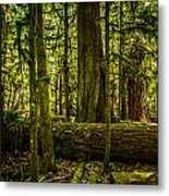 Forest Of Cathedral Grove Collection 3 Metal Print