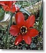 Fosteriana Tulips Red Emperors Metal Print