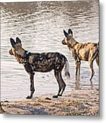 Four Alert African Wild Dogs Metal Print