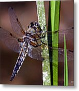 Four-spotted Skimmer Metal Print