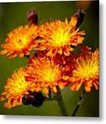 Fox-and-cubs Metal Print