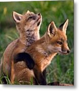 Fox Cub Buddies Metal Print by William Jobes