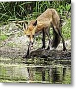 Fox Drink Metal Print