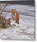 Fox In My Yard Metal Print