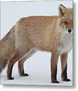 Fox In Snow Field Metal Print