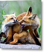 Fox Kits At Play - An Exercise In Dominance Metal Print by Merle Ann Loman
