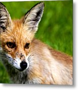 Fox Pup Metal Print