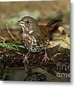 Fox Sparrow Drinking Metal Print