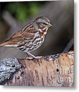 Fox Sparrow Pictures 16 Metal Print