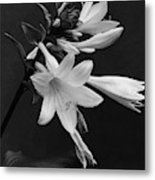 Fragrant Plantain Lily Metal Print