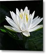 Fragrant Water-lily Metal Print