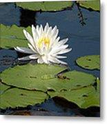 Fragrant White Waterlily - Nymphaea Odorata - Florida Native Metal Print