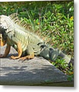 Framed Iguana Metal Print