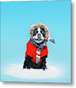 French Bull Terrier Wearing Jacket Metal Print