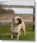 French Bulldog Metal Print by Paulina Szajek