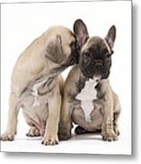 French Bulldog Puppies Metal Print