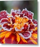 French Marigold Named Durango Red Outlined With Frost Metal Print