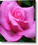 Fresh Sweet Surrender Rose Metal Print
