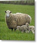 Freshly Made - Winter Lambs Metal Print