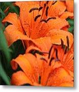 Freshly Showered Tiger Lilys Metal Print