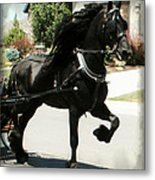 Friesian Driving Metal Print by Royal Grove Fine Art