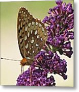 Fritillary Butterfly On Buddleia Metal Print