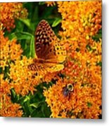 Fritillary On Butterfly Weed Metal Print