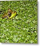 Frog In Duckweed Metal Print