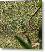 Frog In Pond Metal Print