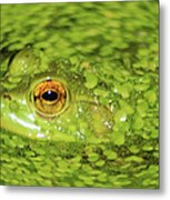 Frog In Single Celled Algae Metal Print
