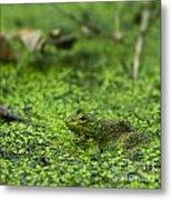 Frog In Swamp 2 Of 3 Metal Print