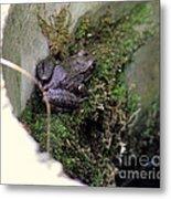 Frog On Moss On Wall Metal Print