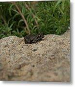 Frog On Rock Metal Print by Corina Bishop