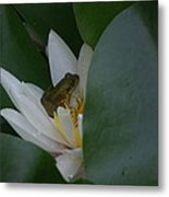Frog Tucked In A Water Lily Metal Print