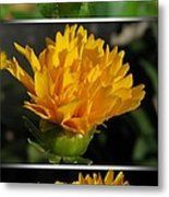 From Bud To Bloom - Coreopsis Named Early Sunrise Metal Print