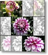 From Bud To Bloom - Dahlia Named Brian Ray Metal Print