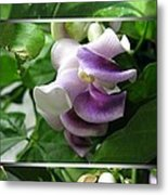 From Bud To Bloom - Phaseolus Caracalla Metal Print