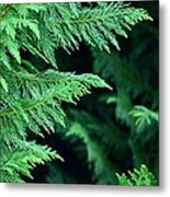 Fronds Of The Leyland Cypress Metal Print