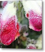 Frost Bears Down On Snapdragon Named Floral Showers Red And Yellow Bicolour Metal Print