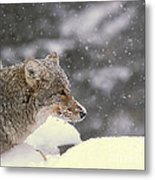 Frosty Coyote Metal Print