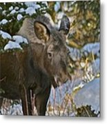 Frosty Nose Metal Print