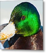 Mallard On Ice Metal Print